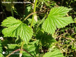 Houblon - Humulus Lupulus