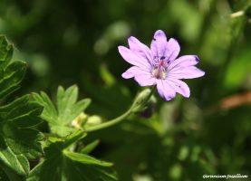 Geranium pusllum